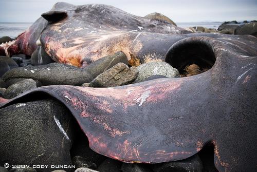 dead whale lofoten norway