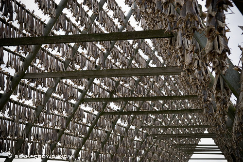 drying cod stockfish lofoten norway