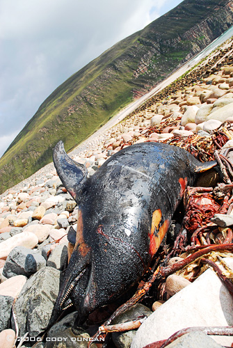 © Cody Duncan Photography.  Dead dolphin on rocky beach at Rackwick Bay, Hoy, Orkney, Scotland
