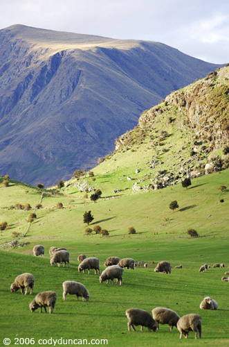 Sheep in pasture near Wanaka, New Zealand. © Cody Duncan Photography