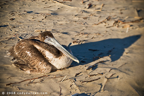 Photograph of Pelican on beach in Santa Barbara, California. © Cody Duncan photography
