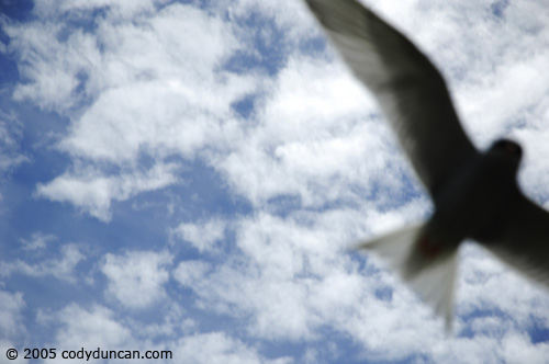 New Zealand nature photo: Tern in flight. © Cody Duncan Photography