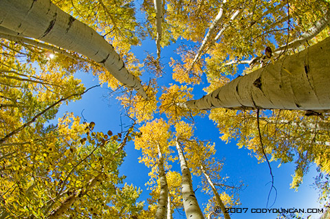 Cody Duncan Stock Photo: Fall colors on Aspens in Sierra Nevada Mountains, California. © Cody Duncan Photography
