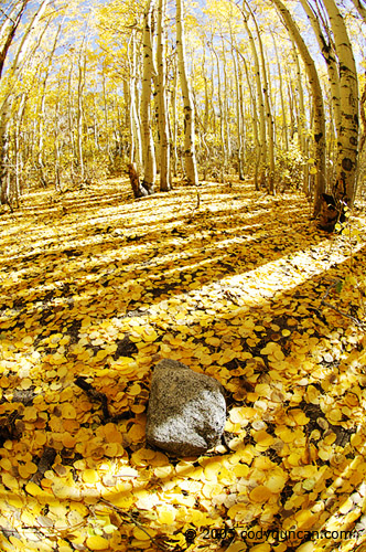Cody Duncan Stock Photography: yellow Aspen trees and fallen leaves in Autumn, Sierra Nevada Mountains, California. © Cody Duncan photography