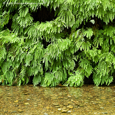 Cody Duncan Stock Photography: Ferns along river. © Cody Duncan photography