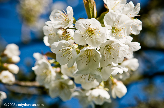 Cherry tree flower, Germany. Cody Duncan travel stock photography