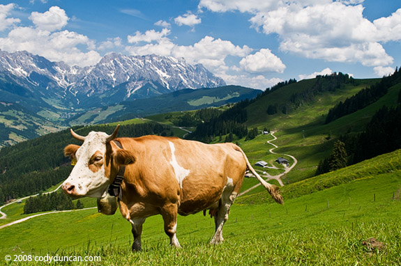 Cow in meadow in Austrian Alps. © Cody Duncan Photography