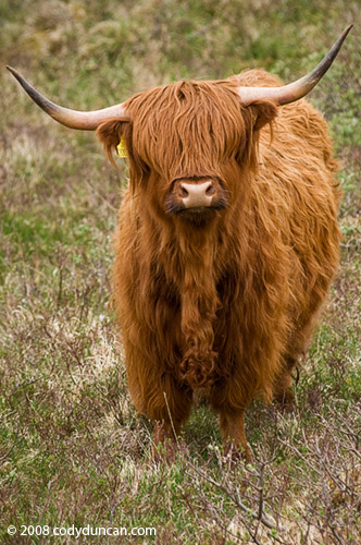 Stock photo: Scottish highland cow, Scotland. Cody Duncan stock photography