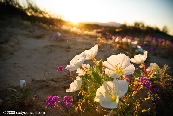 Cody Duncan stock photography: Spring wildflower in desert of Baja California, Mexico