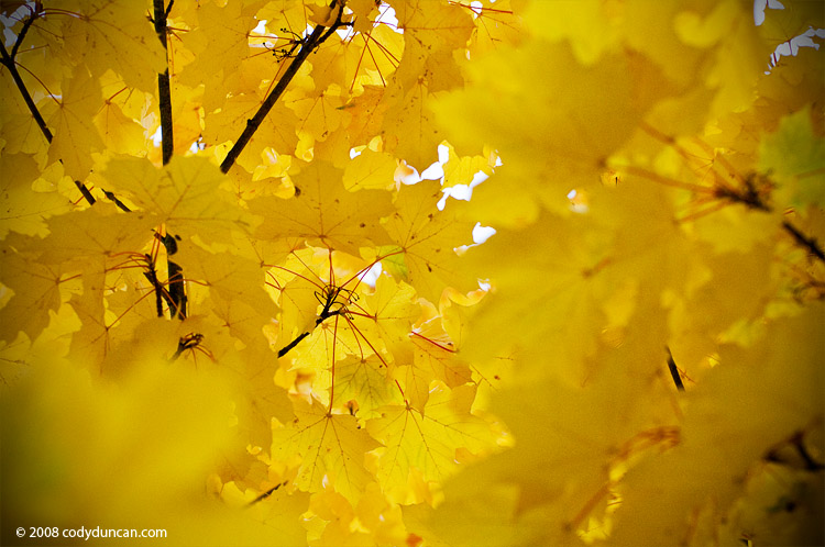 golden autumn leaves on tree - Cody Duncan Photography