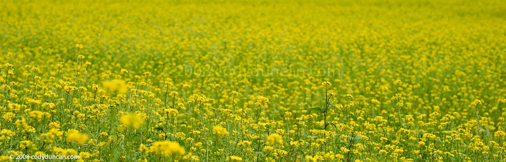 Germany Stock panoramic photography: Mustard field, Franconia, Germany. Cody Duncan Photography