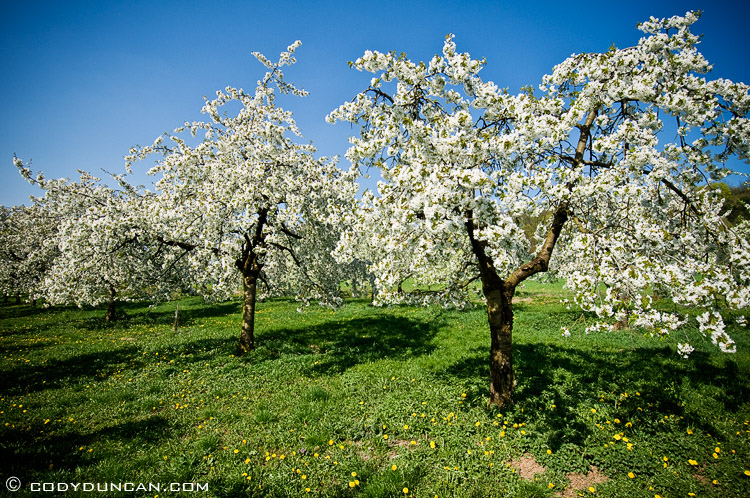 Cherry tree Blossom in spring, Bavaria, Germany. Cody Duncan Photography