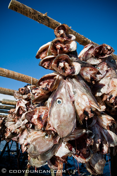 Cod stockfish heads, lofoten islands, Norway
