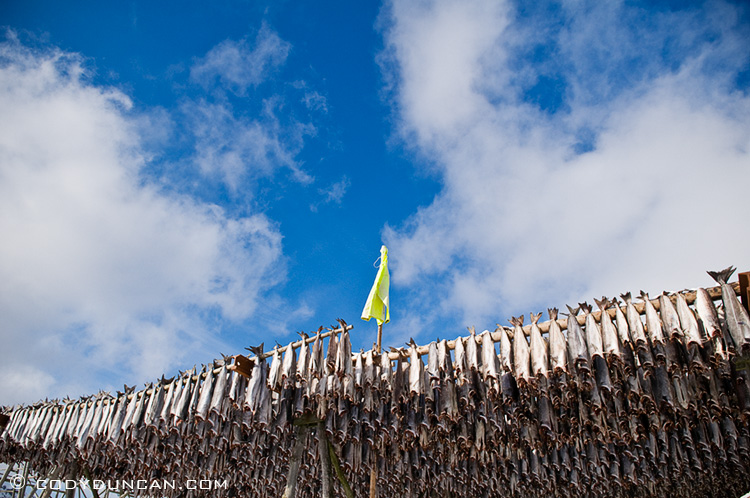 Cod stockfish hang to dry in winter, lofoten islands, Norway