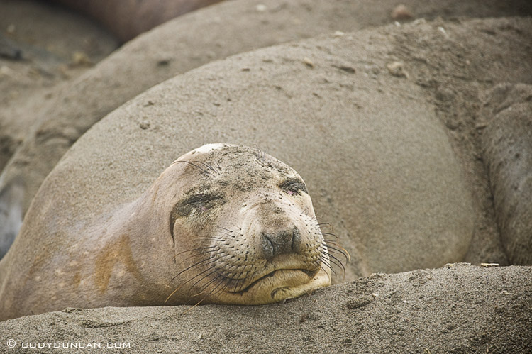 Northern elephant seals - Mirounga angustirostris - on beach at Piedras Blancas north of San Simeon, California. Cody Duncan photography