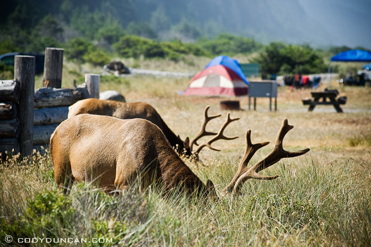 Roosevelt Elk graze in camproung at Gold Bluffs Beach, Prairie creek redwoods state park, California