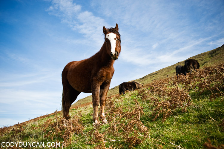 Wild Welsh mountain pony, Black Mountains, Brecon Beacons national park, Wales