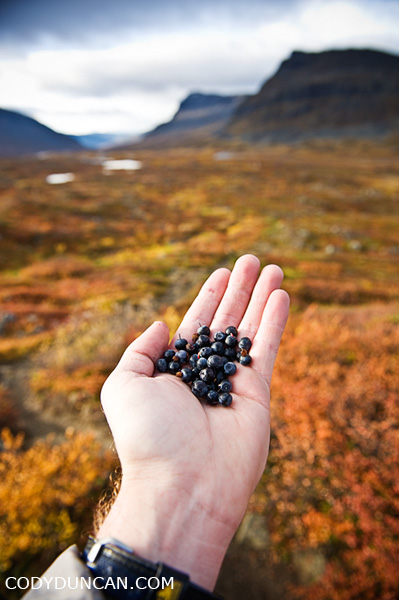 wild blueberries, autumn, Kungsleden trail, Sweden