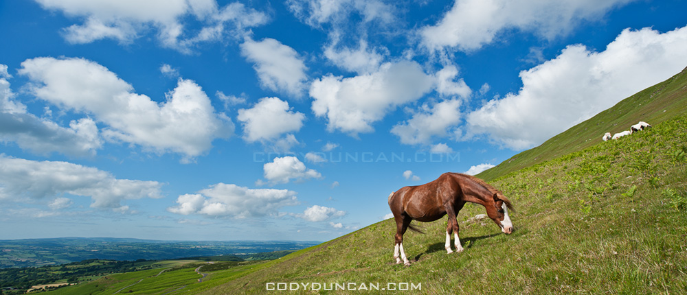 Wild Welsh mountain pony, Hay Bluff, Black mountains