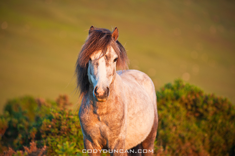 Wild Welsh mountain pony, Hay Bluff, Wales