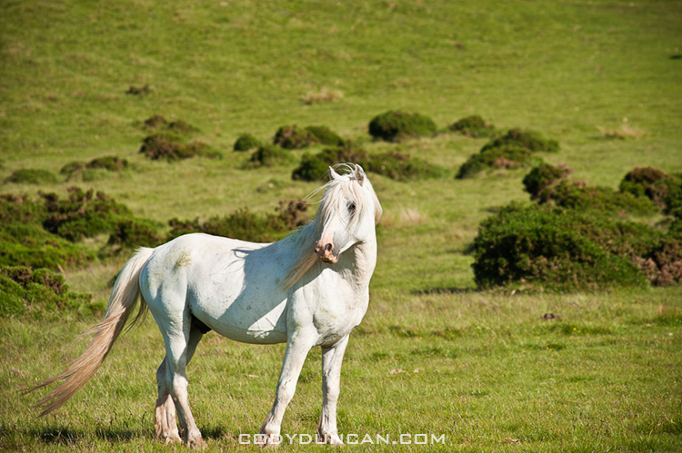 White Welsh mountain pony on hillside, Hay Bluff, Wales