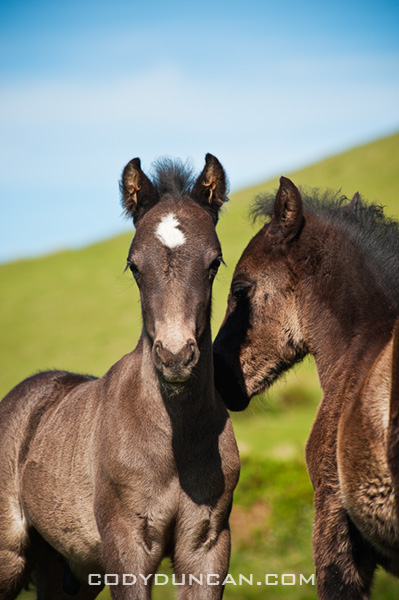 Two wild Welsh mountain pony foals, Hay Bluff, Wales
