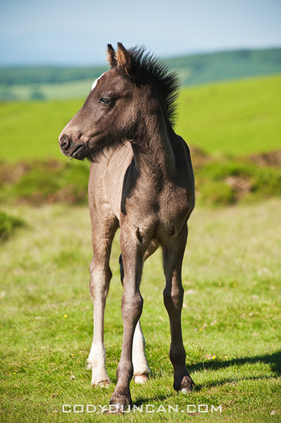Portrait of wild Welsh mountain pony foal, Hay Bluff, Wales