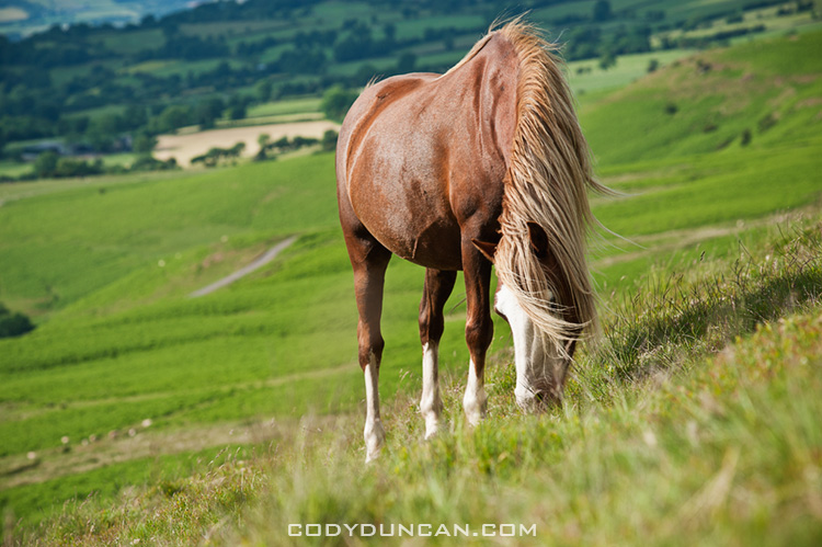 Wild Welsh mountain pony feeds on grassy hillside, Hay Bluff, Wales