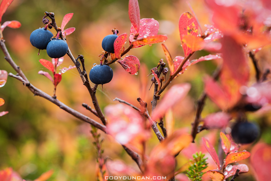 blueberry bush in Autumn, Norway