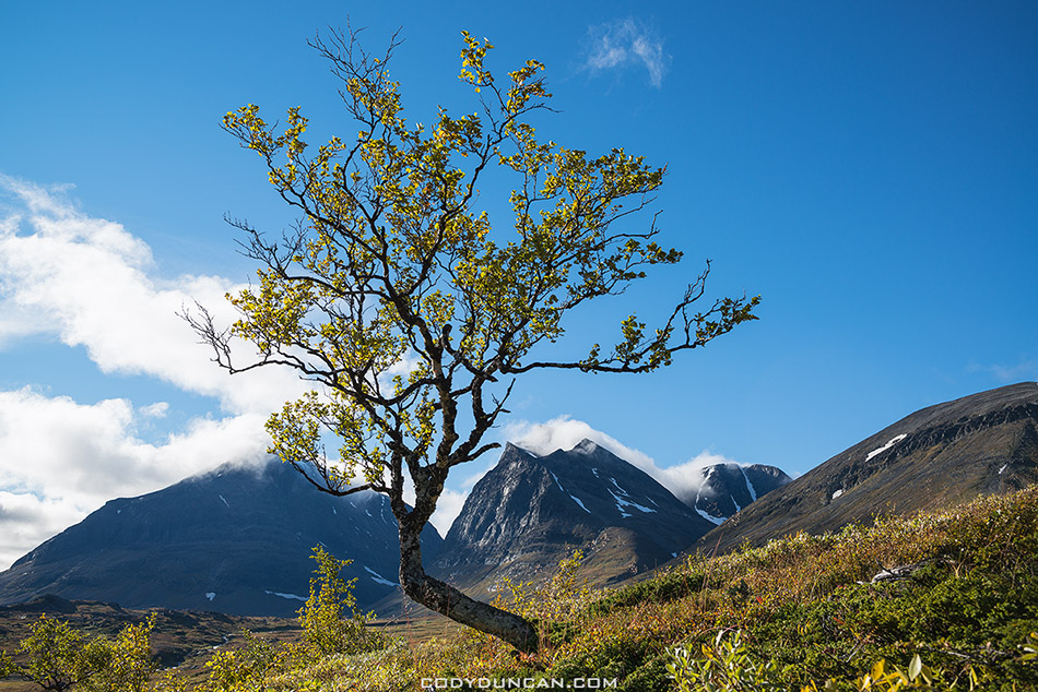 Autumn tree with summit of Tolpagorni - Duolbagorni in distance, viewed from near Kebnekaise Fjallstation, Ladtjovagge, Lappland, Sweden