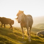 Wild Welsh Mountain Pony near Hay Bluff, Black Mountains, Brecon Beacons national park, Wales