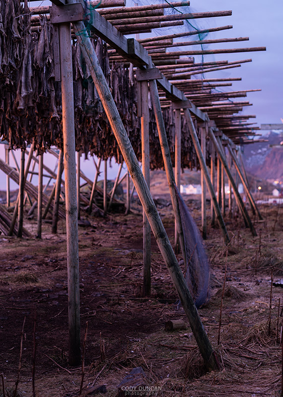 Cod Stockfish hang to dry in cold winter air, Toppøya, Reine, Moskenesøy, Lofoten Islands, Norway