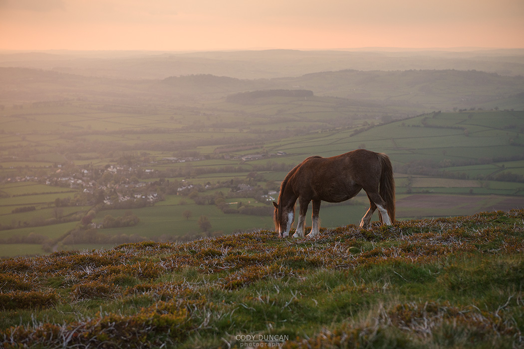 Wild Welsh Mountain Pony grazing on hillside of Mynydd Llangorse, Brecon Beacons national park, Wales