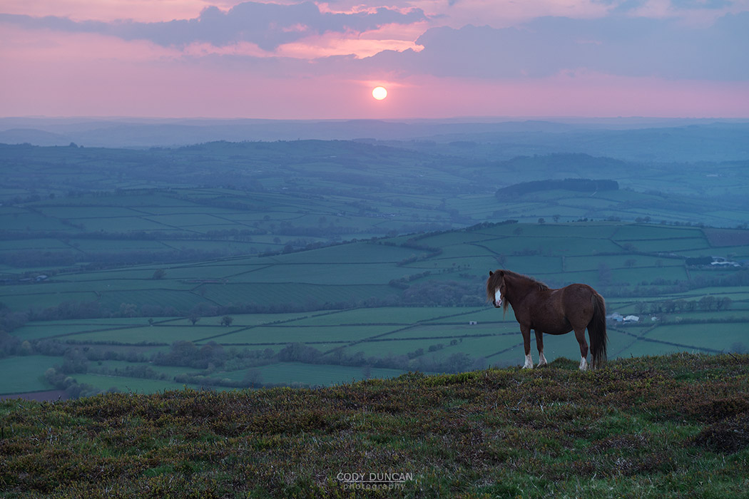 Wild Welsh Mountain Pony at sunset on Mynydd Llangorse, Brecon Beacons national park, Wales